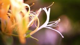 Lonicera caprifolium, Italian Honeysuckle Or Perfoliate Woodbine Side View Footage