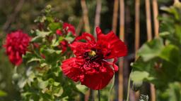 Poppy In The Garden, In Wind Footage