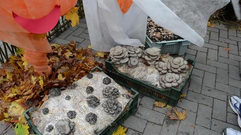 ecological natural edible eatable mushroom shown rural fair Footage