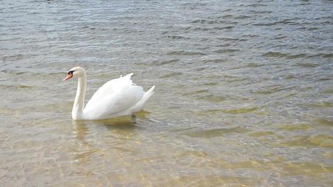 white swan bird swim ripple lake shore water sunlight Footage