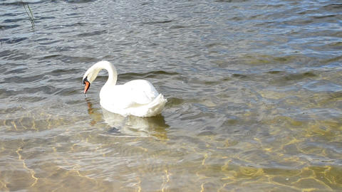 white swan bird look food underwater lake shore bottom water Footage