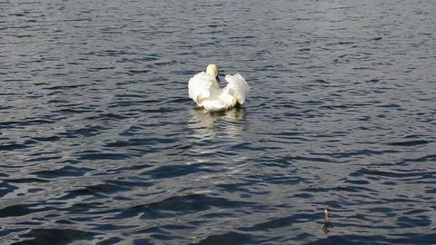 beautiful white swan bird swim ripple dark lake water Footage