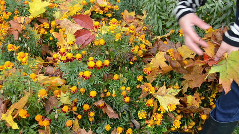 woman worker hands take off autumn tree leaves flowers garden Footage