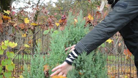 woman hand shake off autumn tree leaf decor thuja bush garden Footage
