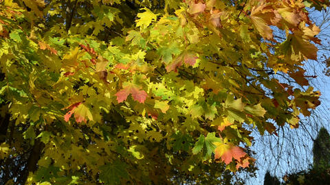 closeup autumnal maple tree branch colorful red yellow leaves Footage