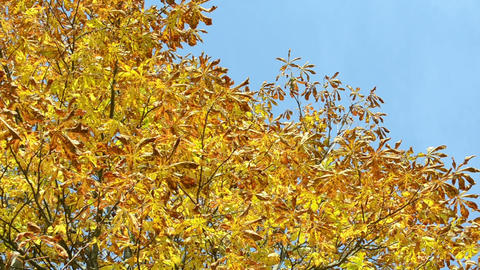 autumn conker tree branch yellow leaves move wind blue sky Footage