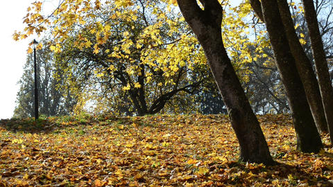 sunny day golden yellow leaf fall autumn maple tree branch park Footage