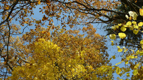 various autumn tree branch yellow leaf move wind cloudy sky Footage
