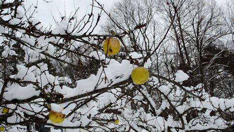 winter garden apple tree branch fruit cover snow hang Footage