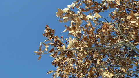 golden oak branch dry leaves move wind background blue sky Footage