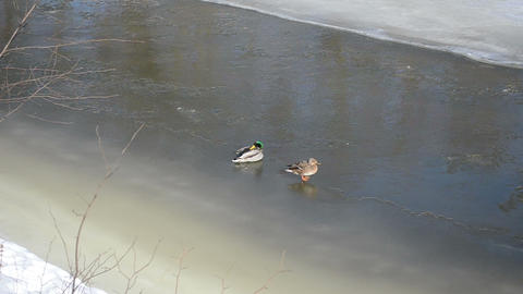 couple big duck (anas platyrhynchos) rest winter river ice Footage