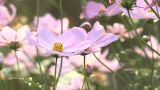 The Autumn Flower,Cosmos,in Showa Kinen Park,Tokyo,Japan stock footage
