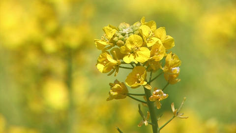 Spring flower,Rapeseed,in Asuka,Nara,Japan Stock Video Footage