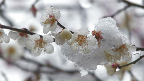 The flower of a plum in Oume,Tokyo,Japan Stock Video Footage