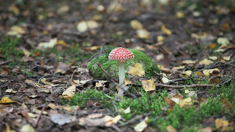 fungus agaric Stock Video Footage