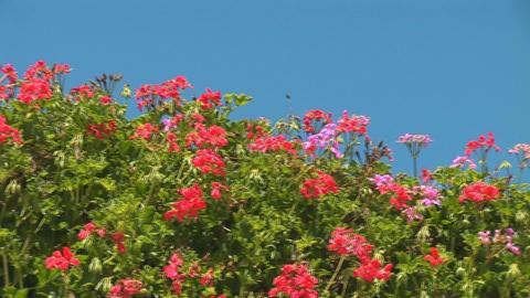 Jerusalem flowers 1 Footage