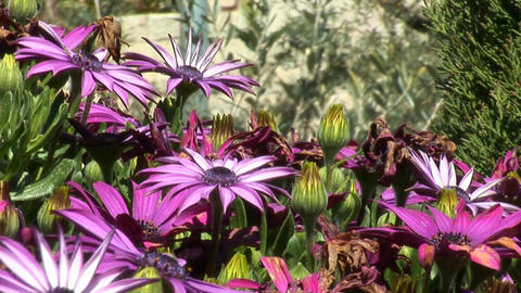 Jerusalem flowers 3 Stock Video Footage
