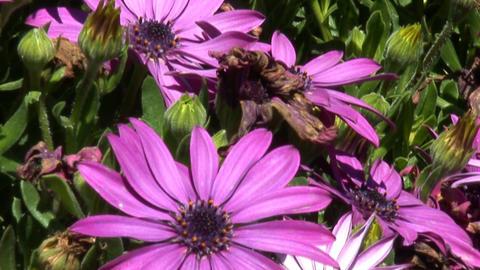 Jerusalem flowers 3 Footage