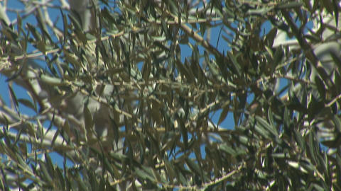 olive 2 Stock Video Footage