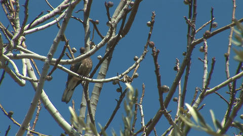 turtledove 5 Footage