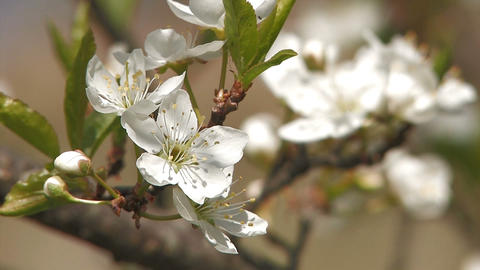 White Cherry blossoms,in Asuka,Nara,Japan Stock Video Footage