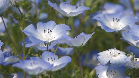 The flower of Baby Blue Eyes in Showa Kinen Park,Tokyo,Japan Stock Video Footage