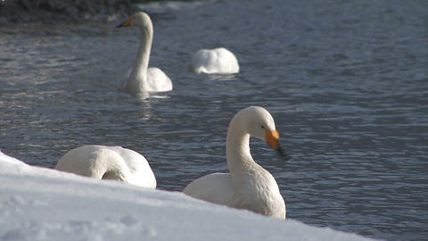 The swans in the Towada Lake,Aomori,Japan Stock Video Footage
