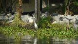 White heron Footage
