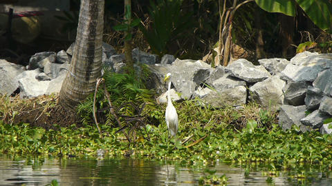 White heron Stock Video Footage