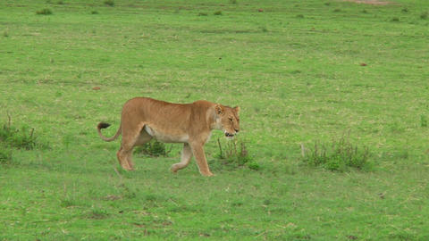 Lioness Footage