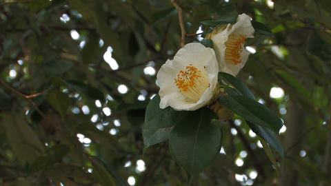 White flower of a Camellia in Yamanobe road,Nara,Japan Stock Video Footage
