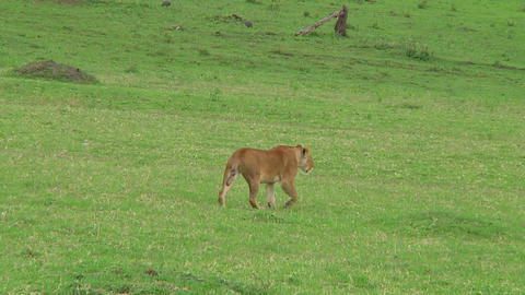 Lioness Stock Video Footage