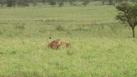 Lion cubs Live Action