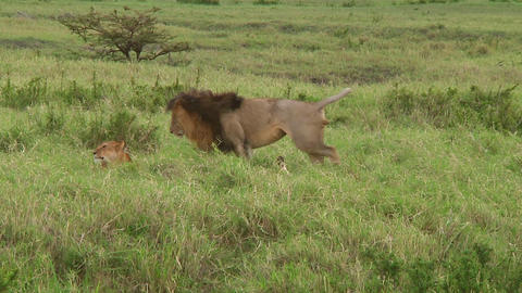 Lion Stock Video Footage