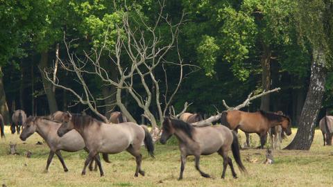 wild horses running 4k UHD 11654 Footage
