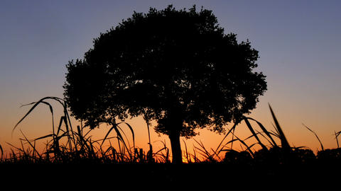 Tree Of Life In Sunset 4k UHD 11655 stock footage