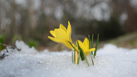 saffron crocus flower bloom between melt snow in spring Footage