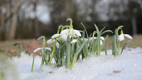 first spring snowdrop snowflake flowers in snow move wind Footage