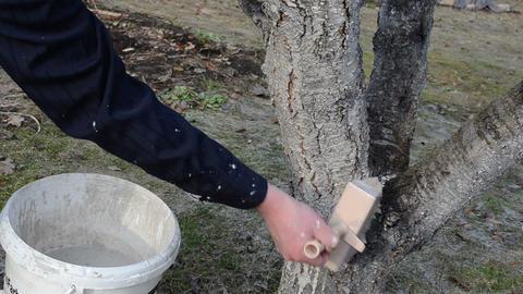 gardener whitewash whitening fruit tree trunk garden spring work Live Action