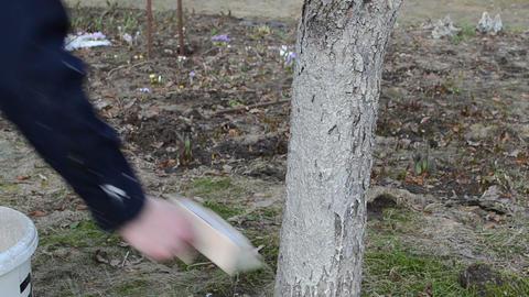 gardener whitening cherry-fruit tree trunk garden spring work Live Action