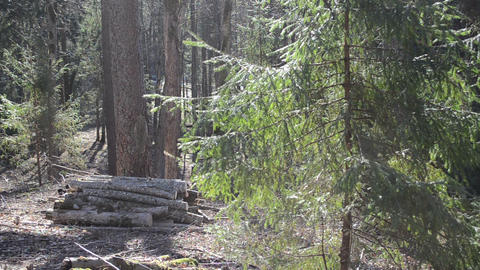 morning in the forest big fir and logs Footage