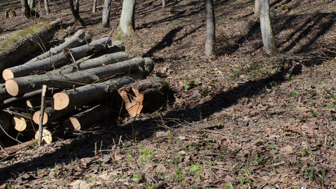 pile of logs where no where the first seeds of violet leaves Footage