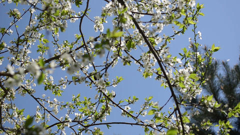 chafer beetle fly fruit tree twig blooms move wind blue sky Footage