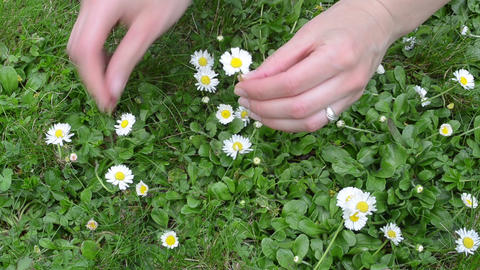closeup of woman hands pick small daisy flowers from lawn, Live Action