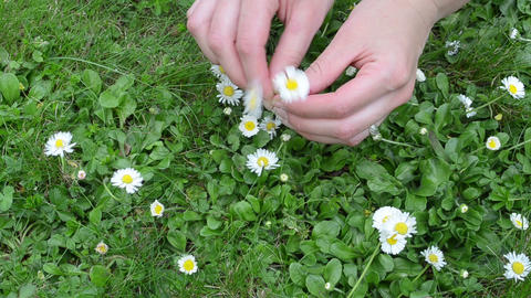 closeup of woman hands pick small daisy flowers from lawn Footage