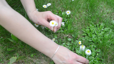 woman hands pick small daisy flower blooms Footage
