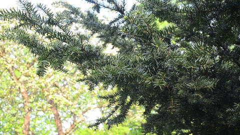 Yew tree branch illuminated by early morning sun move in wind Footage