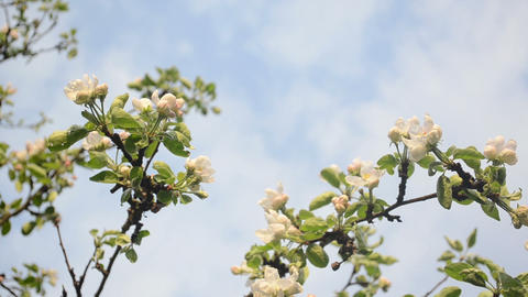 apple fruit tree branches blooms clouds passing on background Footage