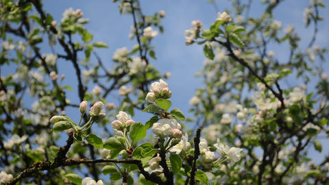 apple fruit tree twigs blooms clouds passing on background Footage