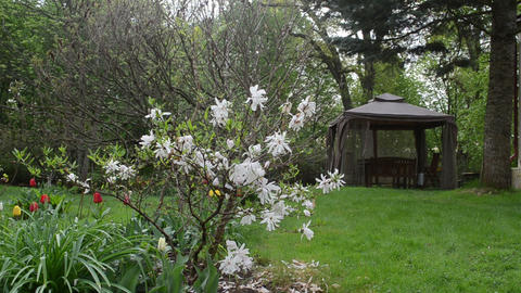Magnolia blooms tulips and bower summerhouse in spring garden Footage